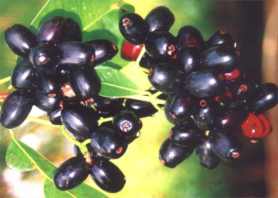 jamun and health benefit Gallery