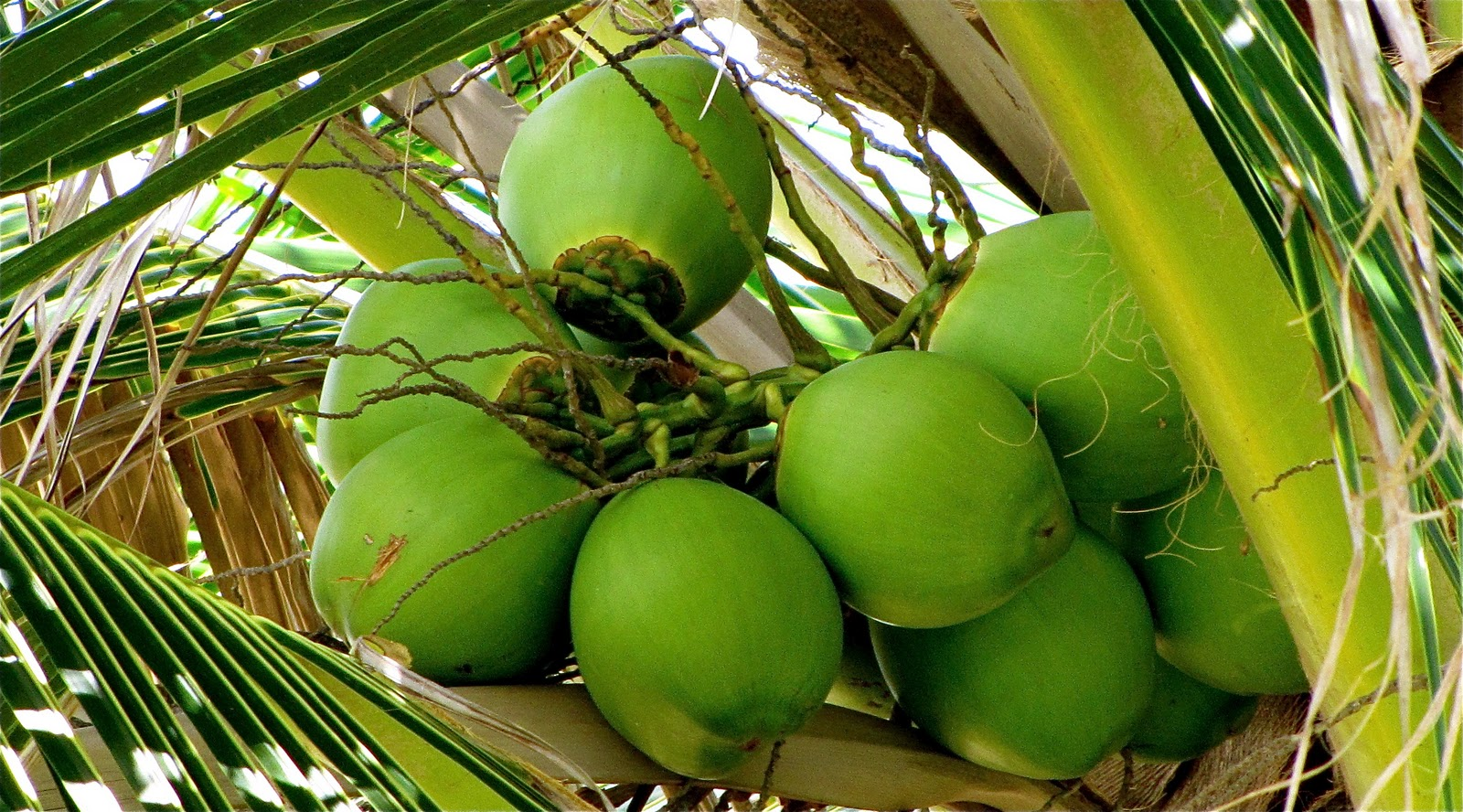 Coconut-The super fruit and its many benefits