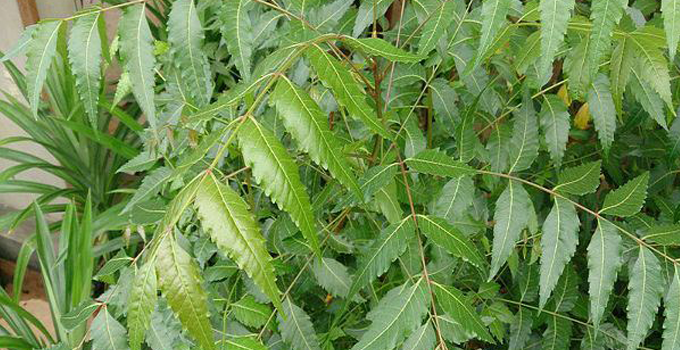 Neem and its Health Benefits - GOQii
